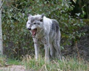 Le cri du loup, jpeg