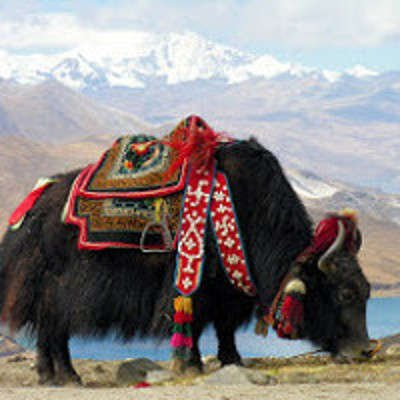 Yak tibétain